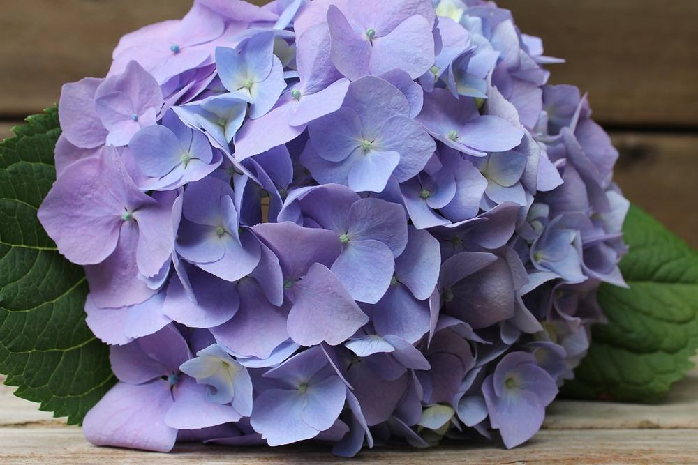 Happy Monday! #flower #lavender #hydrangea #beauty #flowermagic #flowerstagram #pretty #love #alyakaofficial